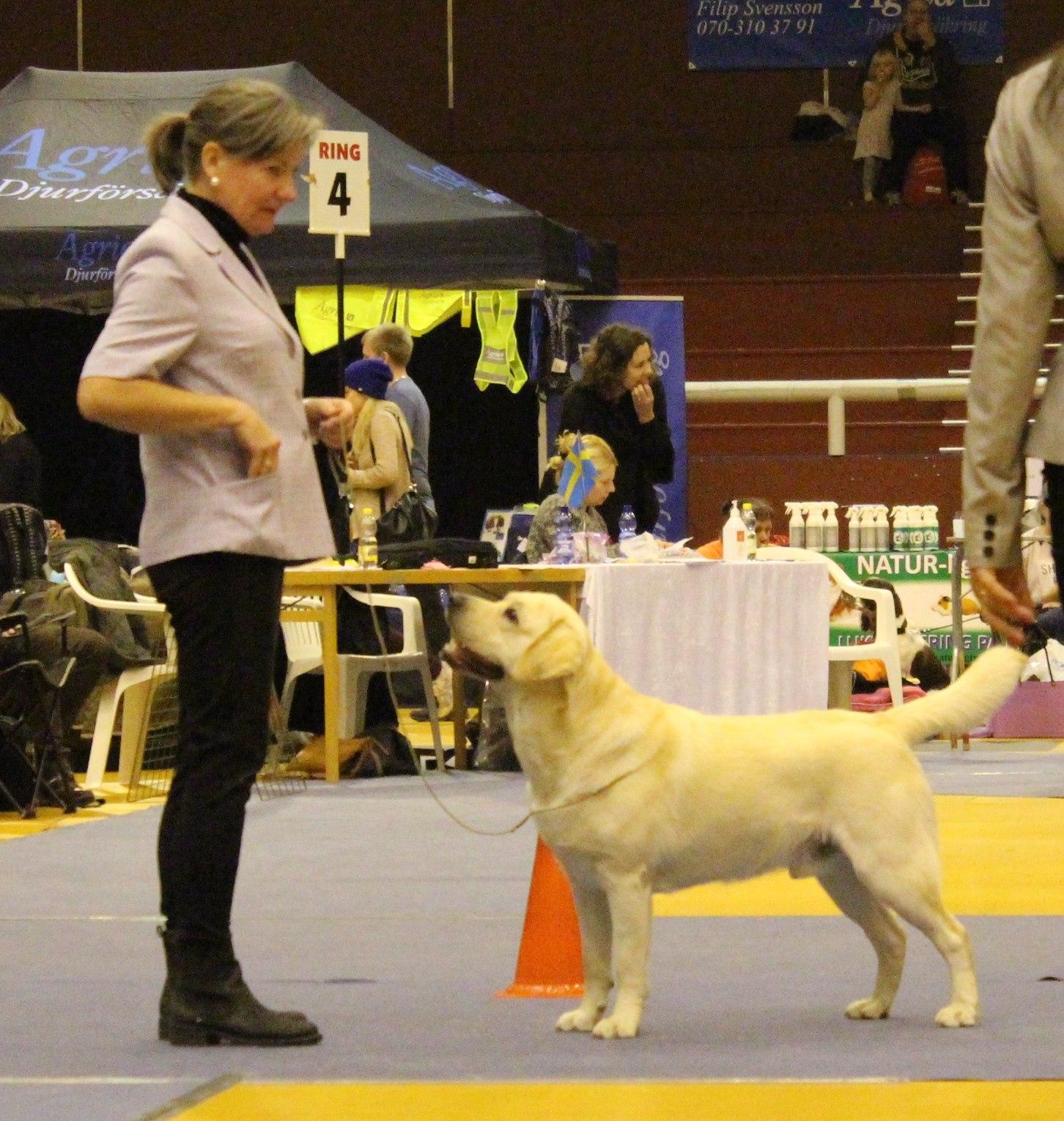 Fotot är från SKKs internationella utställning i Växjö, där Follies Wilson vann unghundsklassen med CK 19 månader gammal.